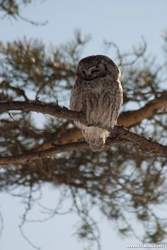 Owl in Rokua national park, Finland. Rokua Health & Spa Hotel. Finnish nature.