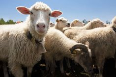 Sheep vs. wolves: SMS-enabled heart rate monitor will warn shepherds of attacks