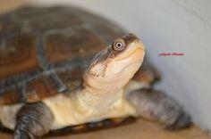 Pelomedusa subrufa by Photographe-dadie -dadie on 500px
