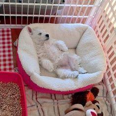 Monday's have me feeling like #dailywestie #westiedog #westiepuppy #westhighlandwhiteterrier #westiegram #puppy #sleepypuppy #puppiesofinstagram #puppygram #dog #doggram #follow #cutie #westie via @dogsbible