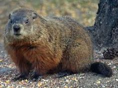 Our resident Woodchuck visits in the fall and eats the bird seed. He is too funny!