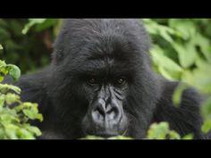 #AfricaAsOne Part 11: The Rwandan Silverback named Igisha