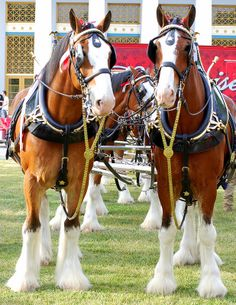 278 best images about Budweiser Clysdale Horses, Work Horses, Black Horses, Draft Horses, Breyer Horses, Pretty Horses, Beautiful Horses, Animals Beautiful, Andalusian Horse