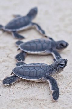 sea turtles holding' hands' as they head for a dip into the ocean much as mother's do with their children/DB