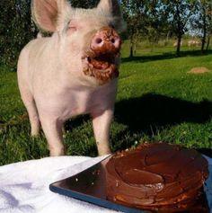 Varkentje met chocolade(?)taart