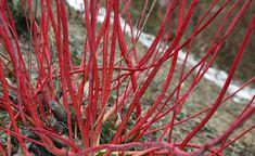 Der Sibirische Hartriegel beeindruckt mit seiner leuchtend roten Farbe