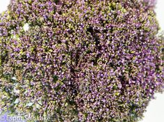 Trachillium purple