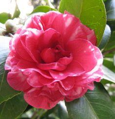 Plantas para decoração: Camélia