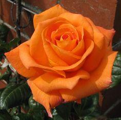 Flower Images, Flower Pictures, Hybrid Tea Roses, Orange Roses, Ornamental Grasses, Plant Decor, Beautiful Roses, Lush, Wedding Flowers