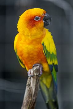 Beautiful Sun Conure Parrot.