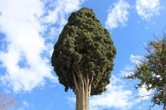 Cypress in old Athens