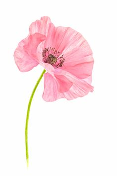 Botanical Drawings, Botanical Art, Botanical Illustration, Watercolor Poppies, Watercolour Painting, Watercolors, Plant Art, Flower Backgrounds, Art Drawings Sketches