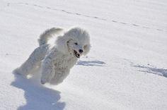 Тазобедрена дисплазия при кучето (Терапия)