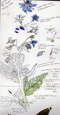 Lizzie Harper borage botanical illustration sketchbook notes