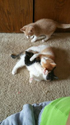 Nothing slows Pumpkin down. He taught my foster kittens how to play.