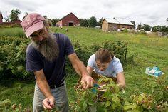 Harvesting #rasberries
