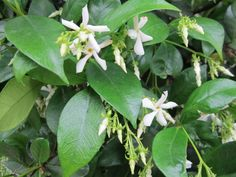 Confederate Jasmine (Trachelospermum jasminoides) - Incredibly fragrant, evergreen and beautiful.