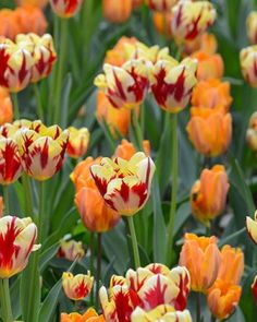 Tulip Rome Collection True flaming varieties, Tulip 'Grand Perfection' combined with Tulip 'Princess Spring Flowering Bulbs, Spring Bulbs, Spring Blooms, Spring Flowers, Tulips Garden, Daffodils, Planting Bulbs, Planting Flowers, Flower Phone Wallpaper