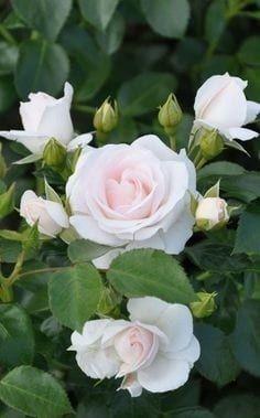How To Select Little One Dresses Floribunda Patio Rose: Rosa 'Headache medicine Rose' Germany, 1989 Beautiful Rose Flowers, Amazing Flowers, Beautiful Gardens, Beautiful Flowers, White Roses, Pink Roses, White Flowers, Blossom Garden, Rose Bush