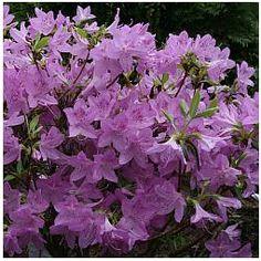 Lavender Azalea Bush