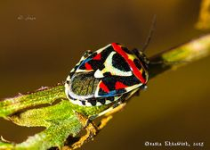 Frans de Waal - Public Page BRIGHT BUG Shield Bug (Eurydema ornata) photo by Osama Ehtawish in Lybia. Male is smaller and has a red abdomen. Female with a white abdomen. Cool Insects, Bugs And Insects, Rare Animals, Cute Baby Animals, Strange Animals, Primates, Mammals, Shield Bugs, Cool Bugs