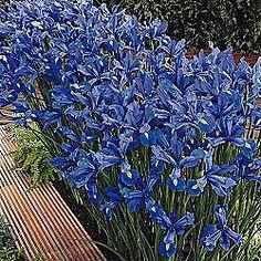 discovery-dutch-iris