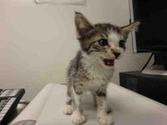 A1637361 - URGENT - CITY OF LOS ANGELES SOUTH LA ANIMAL SHELTER in Los Angeles, CA - Female KITTEN Domestic SH