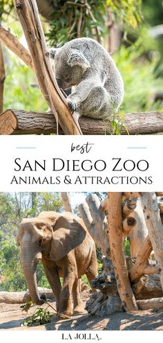 A member shares favorite San Diego Zoo animals and attractions from endangered okapis to koalas. Knowing the highlights will help you maximize your visit. Get all the details here at La Jolla Mom Africa Rocks, African Penguin, Flying With Kids, San Diego Zoo, Baboon, La Jolla, Zoo Animals, Beach Fun, Attraction