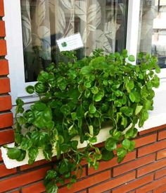 planta del dinero Growing Plants Indoors, Growing Herbs, Love Garden, Home And Garden, Indoor Garden, Indoor Plants, Indoor Grow Kits, Bonsai, Growing Vegetables In Containers