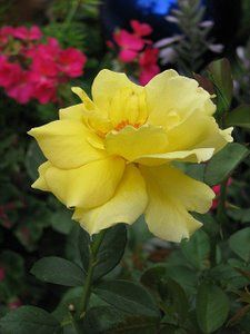 Yellow Rose Yellow Roses, Flowers, Plants, Photography, Photograph, Fotografie, Photoshoot, Plant, Royal Icing Flowers