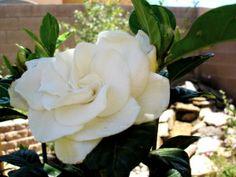 My Gardenia — gracelaced
