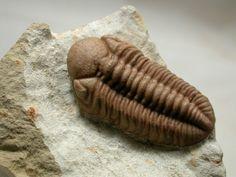 Kainops raymondi Oklahoma Trilobite Lower Devonian Trilobites Order Phacopida, Family Phacopidae Haragan Formation, Coal County, Clarita, Oklahoma