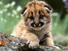 A Very Young Mountain Lion Cub With It's Face In Close-Up