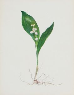 Lily of the Valley - maybe over our bed with another botanical print