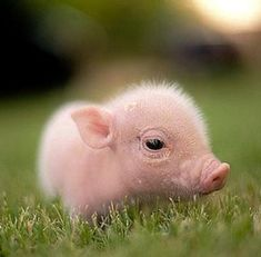 Pig sale maryland in for Teacup