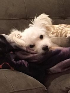 Mr. Ears is an adoptable Maltese searching for a forever family near Naples , FL. Use Petfinder to find adoptable pets in your area.