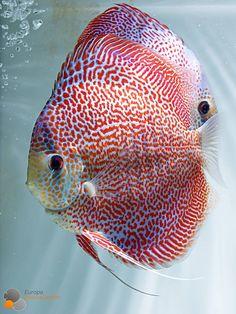 Fine line snake skin lepord Tropical Freshwater Fish, Tropical Fish, Freshwater Aquarium Fish, Beautiful Sea Creatures, Deep Sea Creatures, Diskus Aquarium, Acara Disco, Discus Fish, Discus Tank