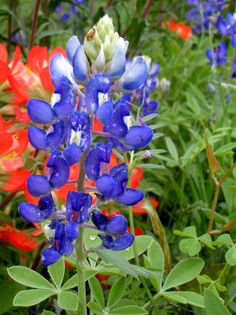 Texas Bluebonnet and paintbrush  by Wooden Treasures