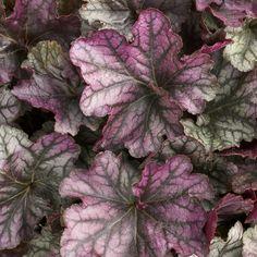 Dolce® 'Blackberry Ice' - Coral Bells - Heuchera hybrid | Proven Winners