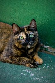 tortie cats are so beautiful Pretty Cats, Beautiful Cats, Cool Cats, I Love Cats, Gato Calico, Calico Cats, Animals And Pets, Cute Animals, Animal Gato