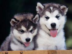 Siberian Husky Puppies kirstenbonnelle