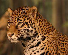 El gran Yaguar o Tigre Americano