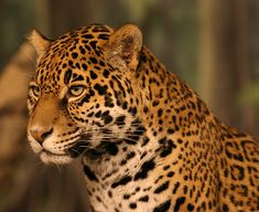 Jaguar This tawny cat with dark rosettes closely resembles its cousin, the leopard, which inhabits a different continent.