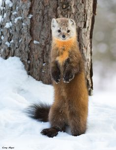 "beautiful-wildlife: ""American Pine Marten by © Corey Hayes "" Animals Of The World, Animals And Pets, Baby Animals, Cute Animals, Nature Animals, Wild Animals, Hamsters, Beautiful Creatures, Animals Beautiful"
