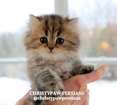 Silver Doll Face Persian kittens for sale in Missouri Himalayan Kittens For Sale, Persian Kittens For Sale, Himalayan Cat, Kitten For Sale, Persian Cats, Baby Animals Super Cute, Cute Animals, Kittens Cutest, Cats And Kittens