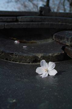 Sakura   by hirox176 Wabi Sabi, Japanese Gardens, Beautiful Flowers, Rain, Pretty Flowers, Waterfall, Rain Photography