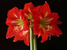 Amaryllis flowers are a welcome sight during the winter with their large, showy blooms and vivid colors. Here are some tips for getting the bulbs to bloom for you. Amaryllis Care, Amaryllis Plant, Amaryllis Bulbs, Small Flowers, Colorful Flowers, Purple Shamrock, Lipstick Plant, Amarillis, Smart Garden