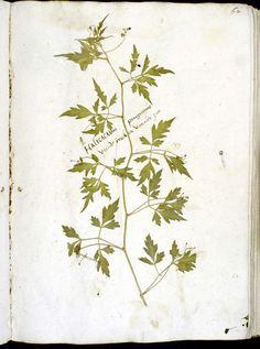 Oudste herbarium uit Nederlandse taalgebied: 1566 - Petrus Cade. Soort:   Halicacabus peregrinus  (nu  Cardiospermum halicacabum L. ). Vremde criecken van ouer zee