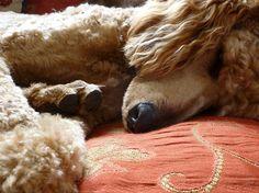 This is so my baby Rosie  - Sleeping Poodle
