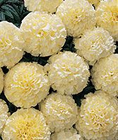 Snowball Hybrid Marigold Seeds and Plants, Annual Flower Garden at Burpee.com
